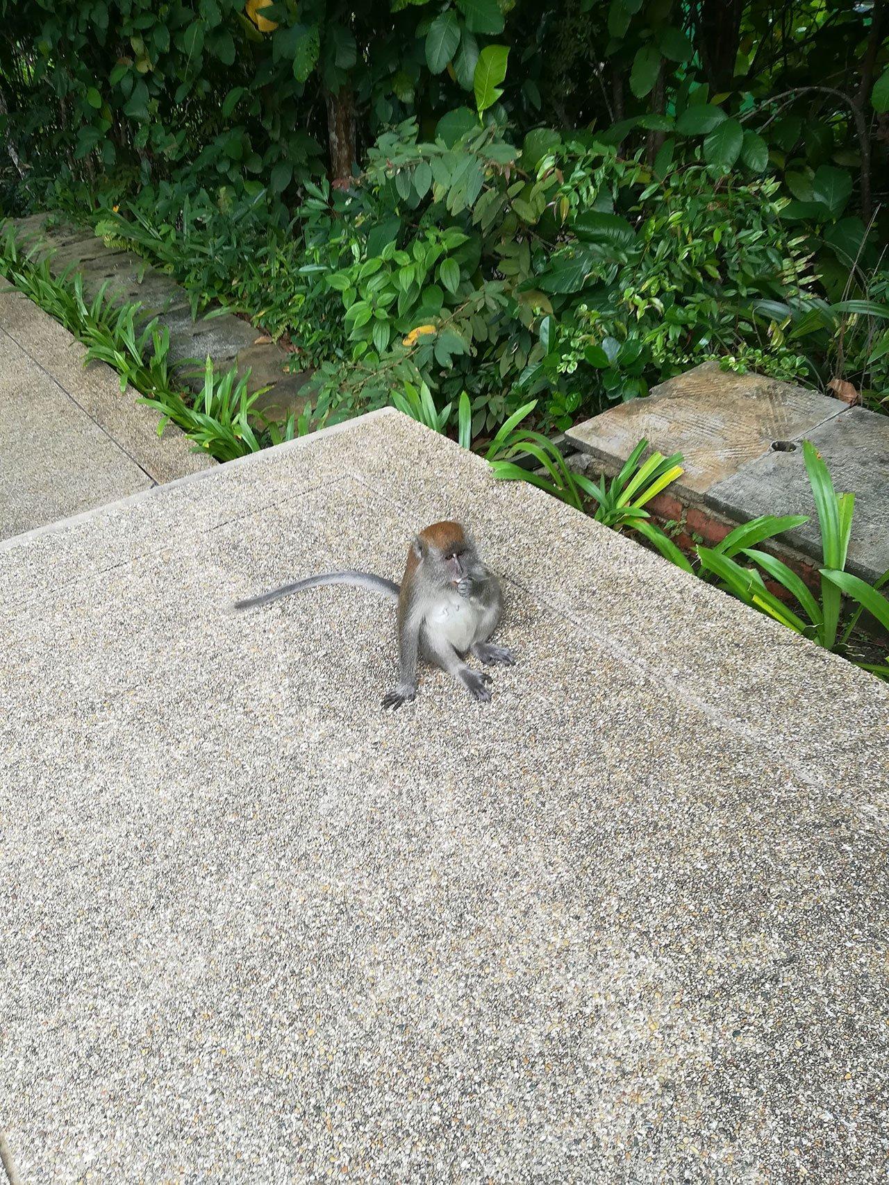 Bintan Island Monkey