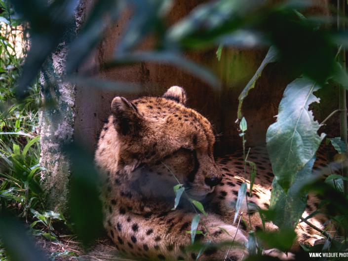 Cheetah Zoo Negara