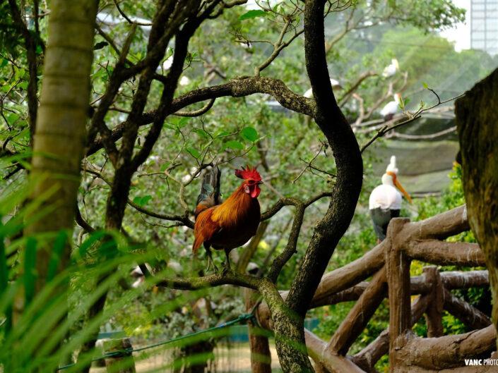 Rooster @ KL Bird Park