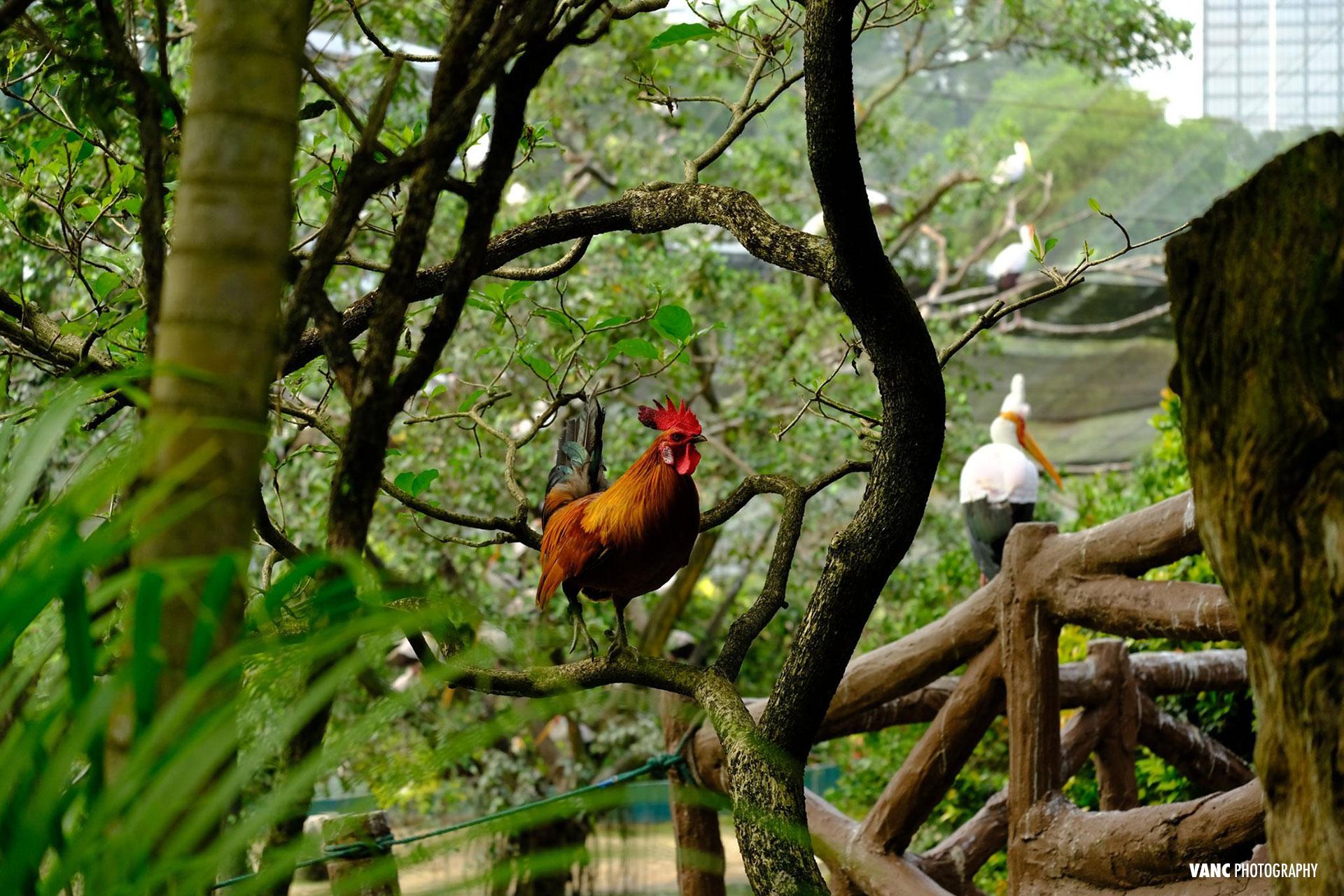 chicken rooster kl bird park