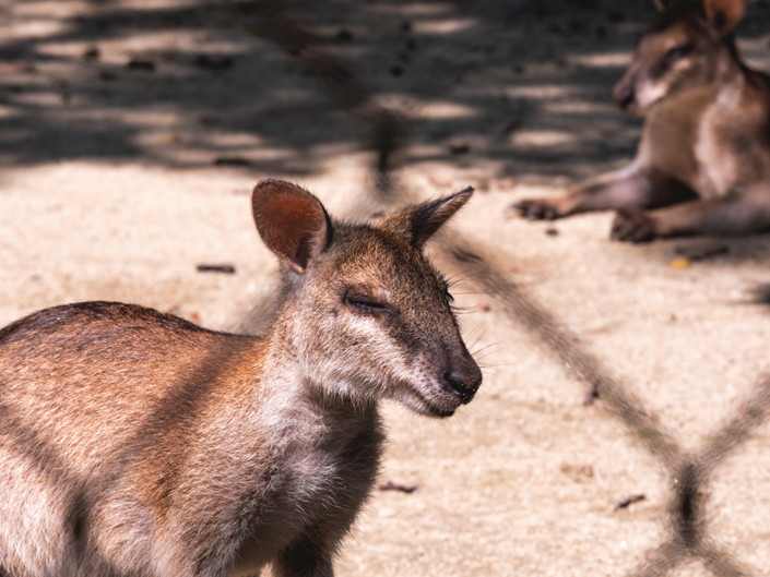 Kangaroo Zoo Negara