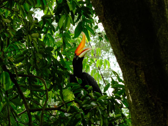 Malaysia Great Hornbill KL Bird Park