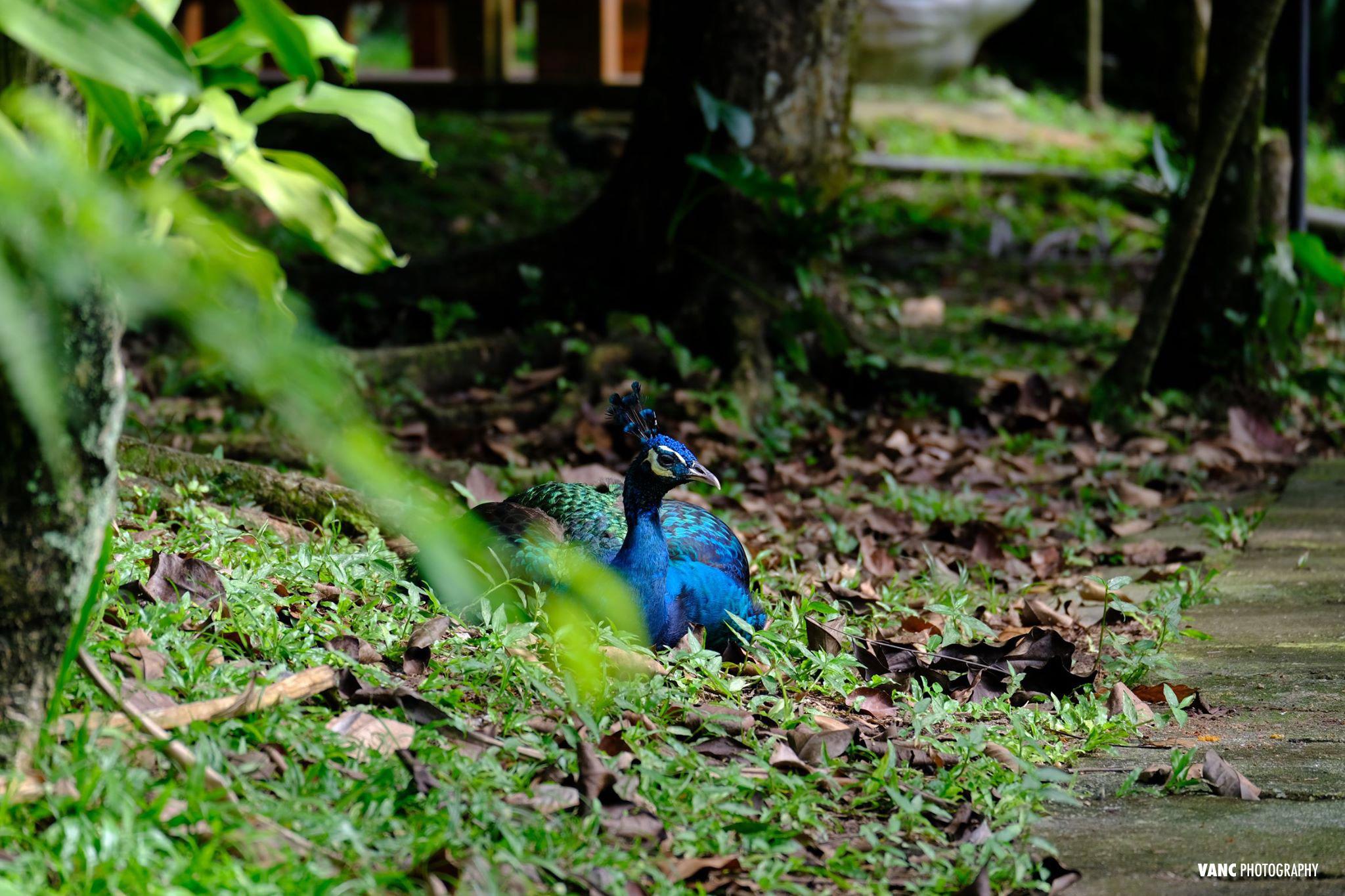 Peacock @ KL Bird Park