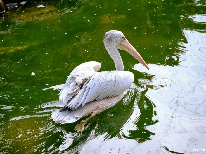 Pelican KL Bird Park