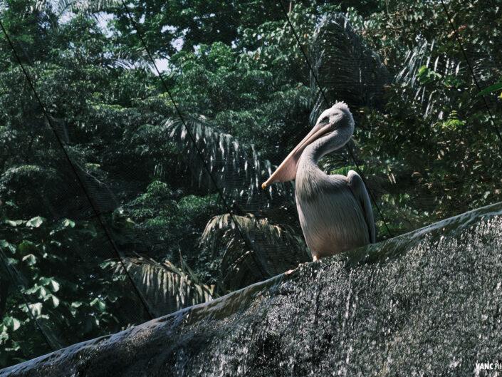 Pelican @ KL Bird Park - Bird Photography