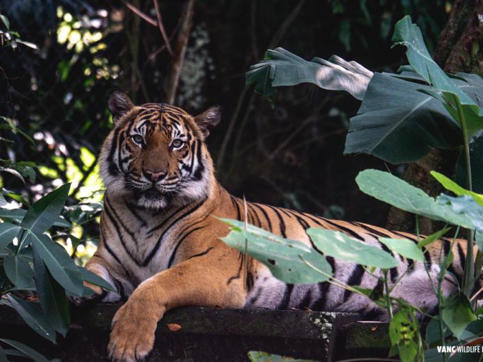 Tiger National Zoo Malaysia