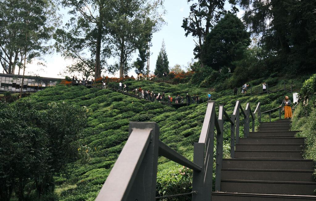 Boh Tea Cameron Highlands